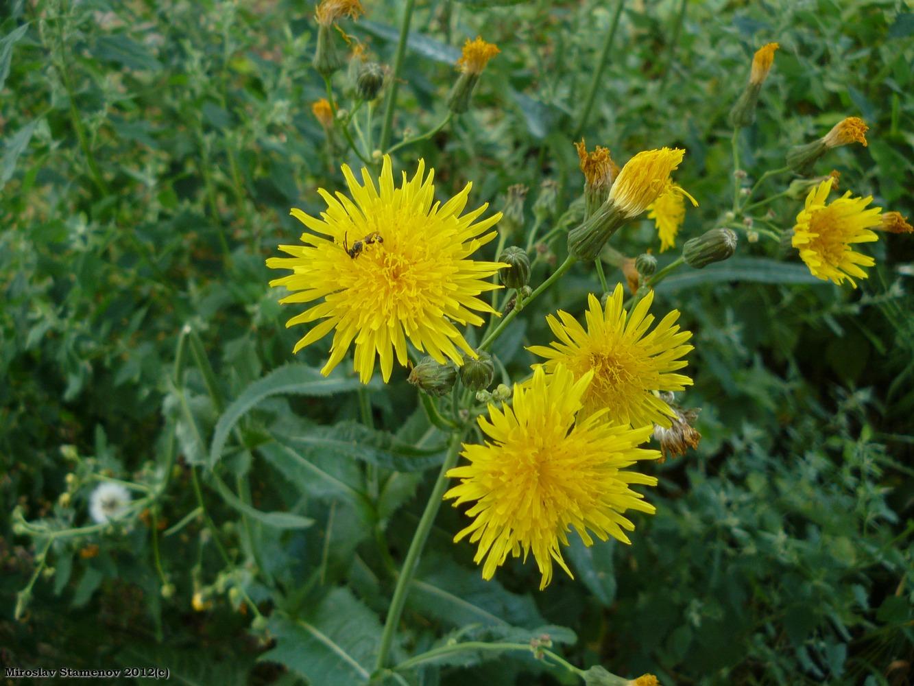 осота фото цветок