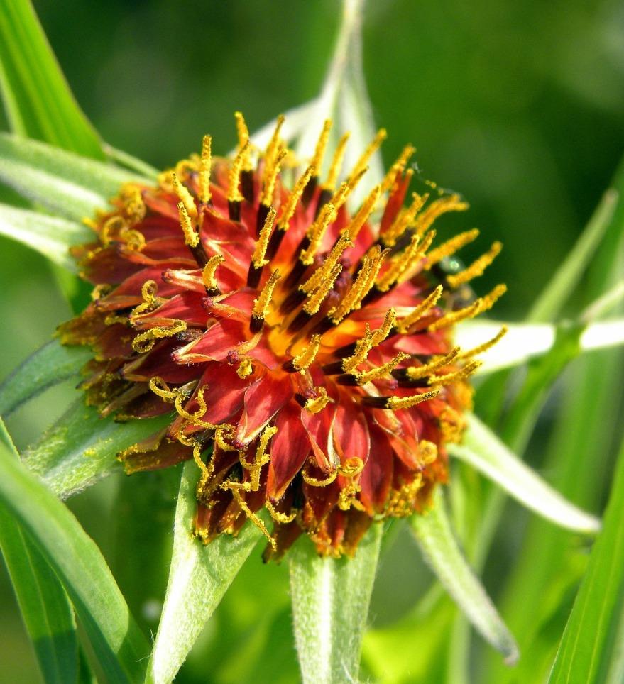 Изображение растения Tragopogon sibiricus.
