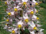 Eremurus aitchisonii