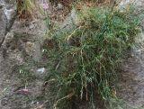 Dianthus zonatus