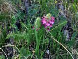 Pedicularis rubens