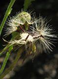 Hieracium scabiosum