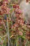 Salsola laricifolia