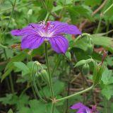 Geranium wlassowianum
