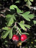 Crataegus × tournefortii