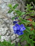 Scutellaria strigillosa