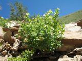 Galium tianschanicum