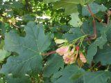 Acer stevenii