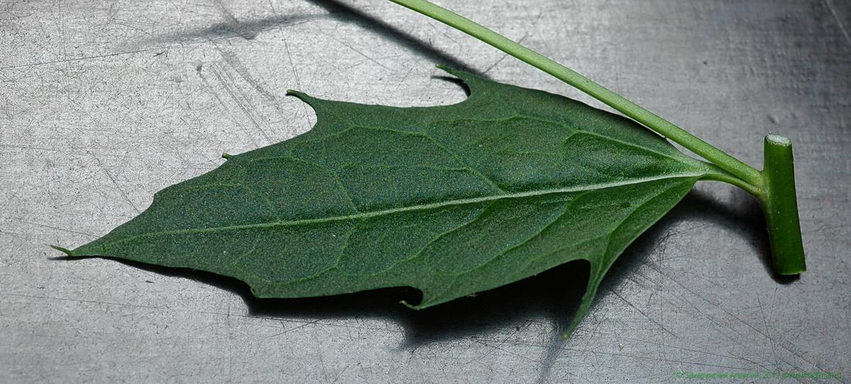 проспект листья вечерницы фото профессия одна