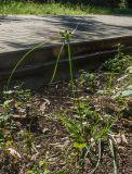 Cyperus eragrostis