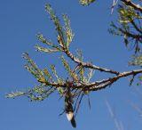 Fraxinus syriaca