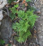 Cheilanthes glauca