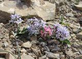 Hyacinthella litwinowii