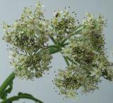 Heracleum sphondylium