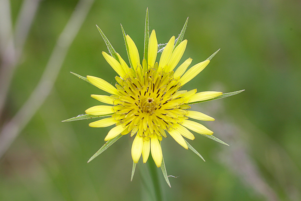 Изображение растения Tragopogon major.