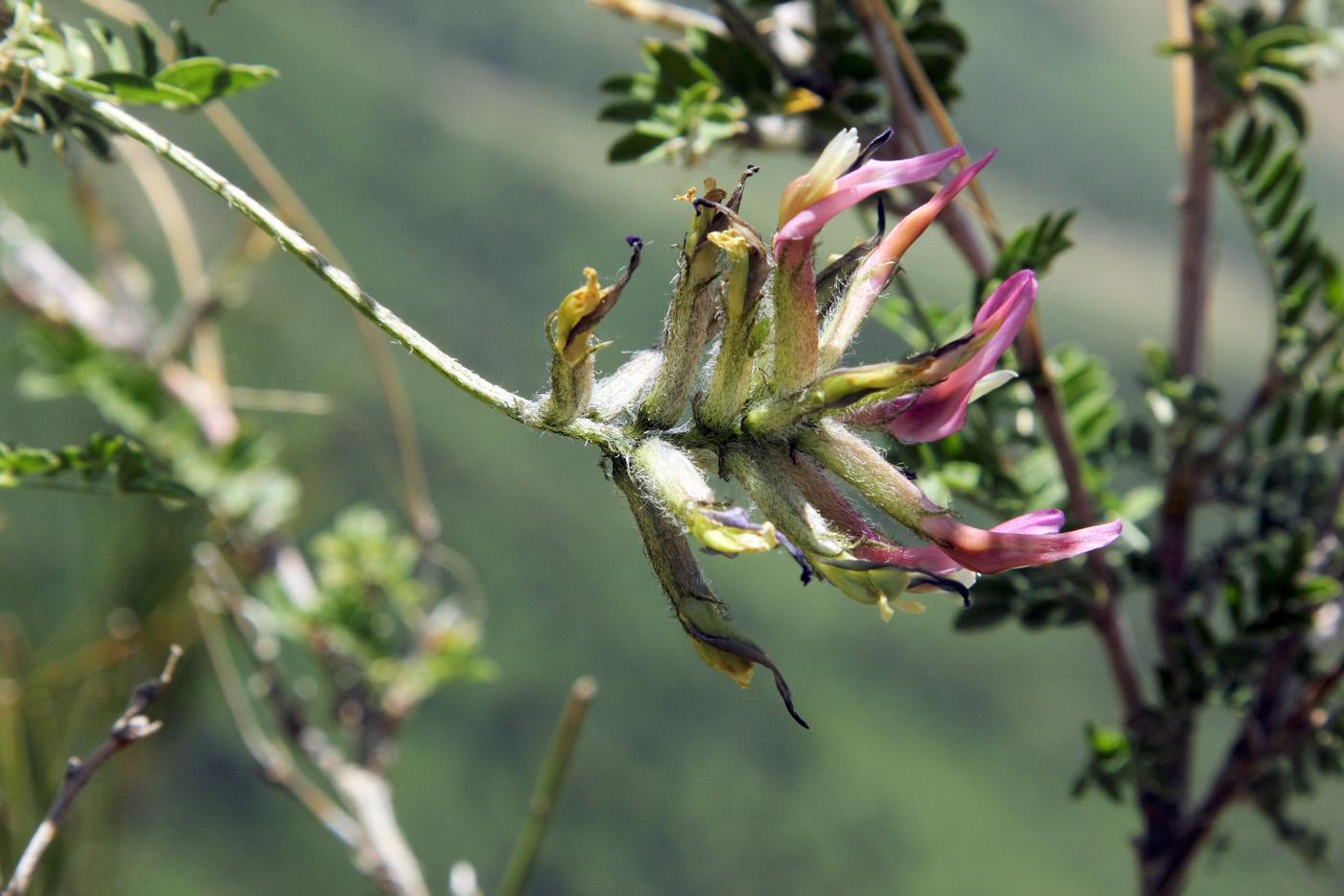 Изображение растения Astragalus variegatus.