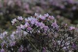 Rhododendron achroanthum