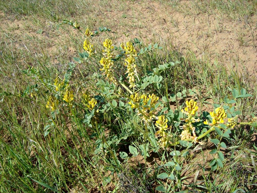Изображение растения Astragalus litwinowii.