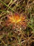 Centaurea rigidifolia