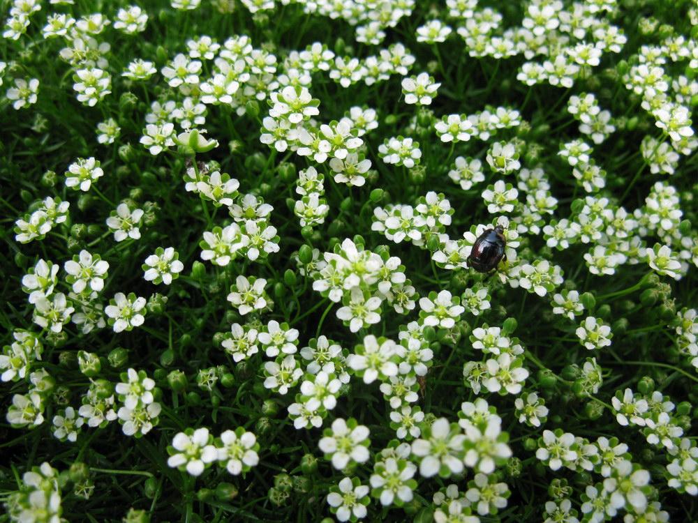 Мшанка шиловидная выращивание из семян в открытом грунте 6