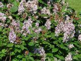 Syringa × henryi