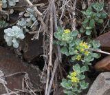 Alyssum obtusifolium