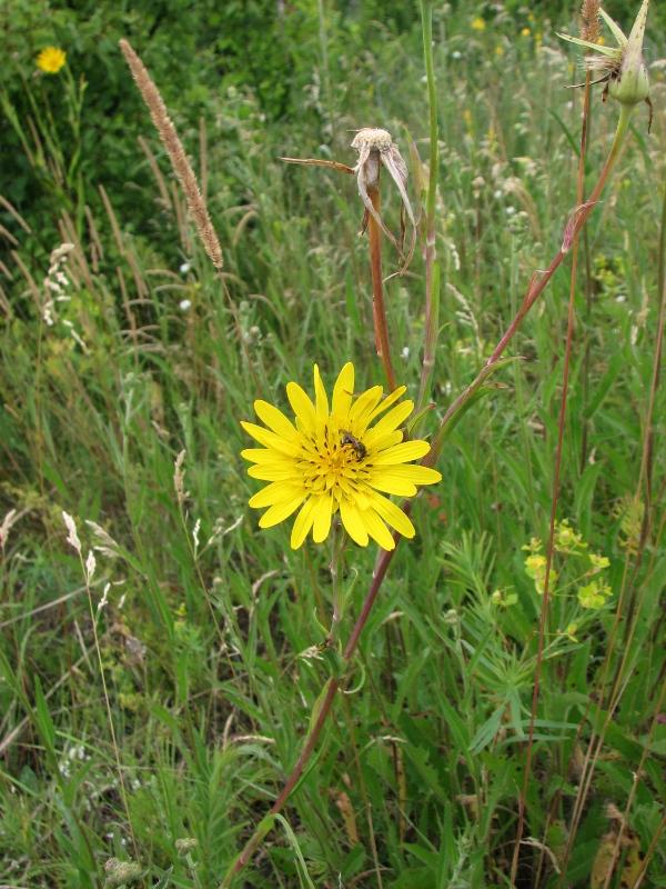 Изображение растения Tragopogon ucrainicus.