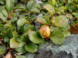 Salix nummularia