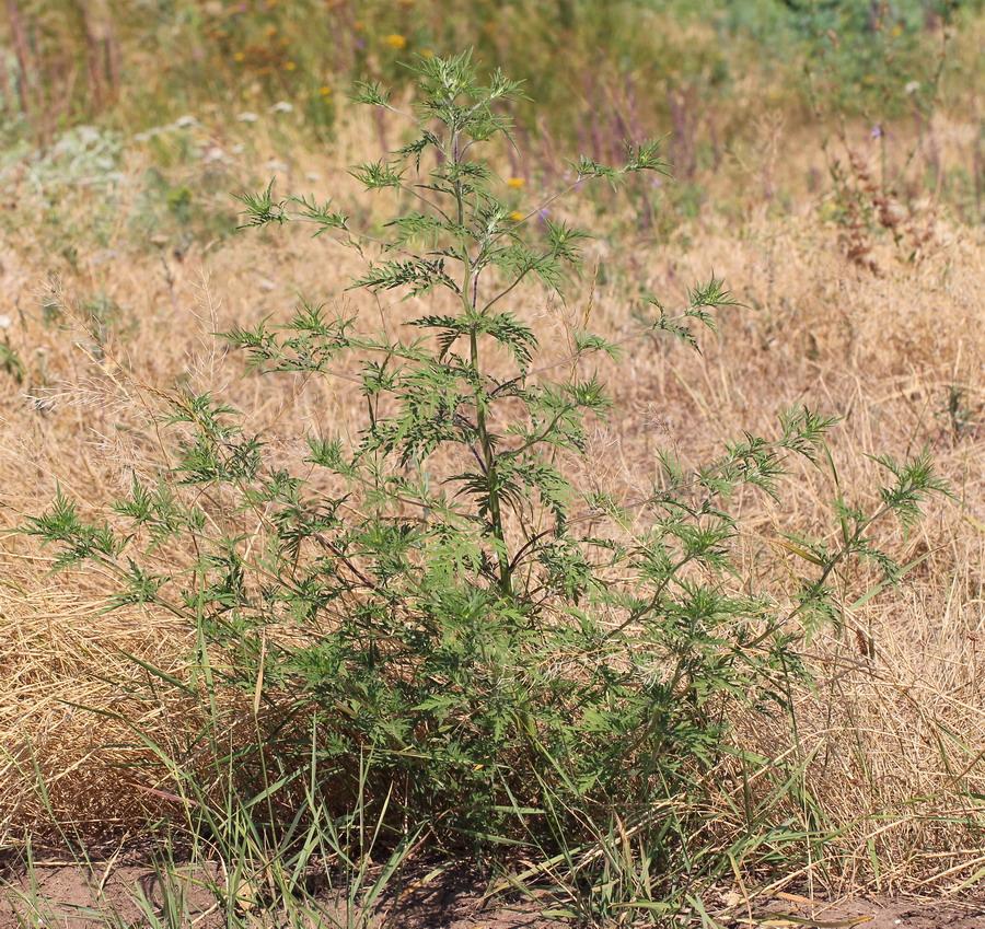 Амброзия полынолистная (Ambrosia artemisiifolia)