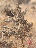 Salsola dendroides