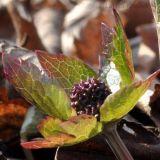 Sanicula rubriflora