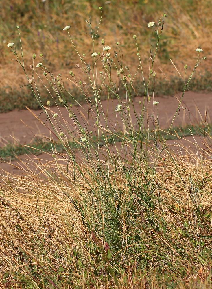 Скабиоза бледно-жёлтая (Scabiosa ochroleuca)