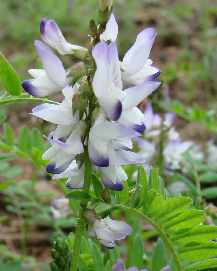 Изображение растения Astragalus alpinus.