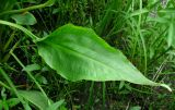 Alisma × rhicnocarpum
