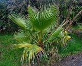 Washingtonia robusta. Молодое растение. Турция, Чиралы, в культуре. 02.01.2019.