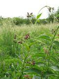 Vincetoxicum rossicum