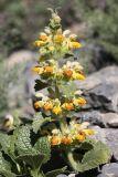 Phlomoides tianschanica