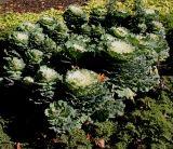 Brassica oleracea var. viridis