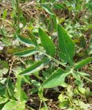 Macroselinum latifolium