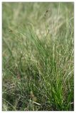 Carex pediformis