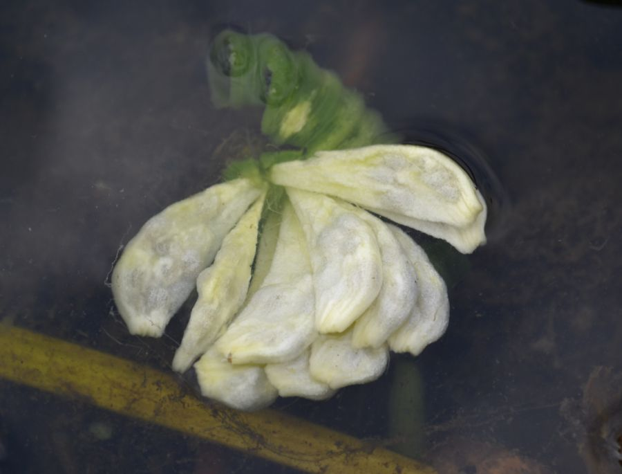Кубышка жёлтая (Nuphar lutea). Автор фото: Непоменко Леонид