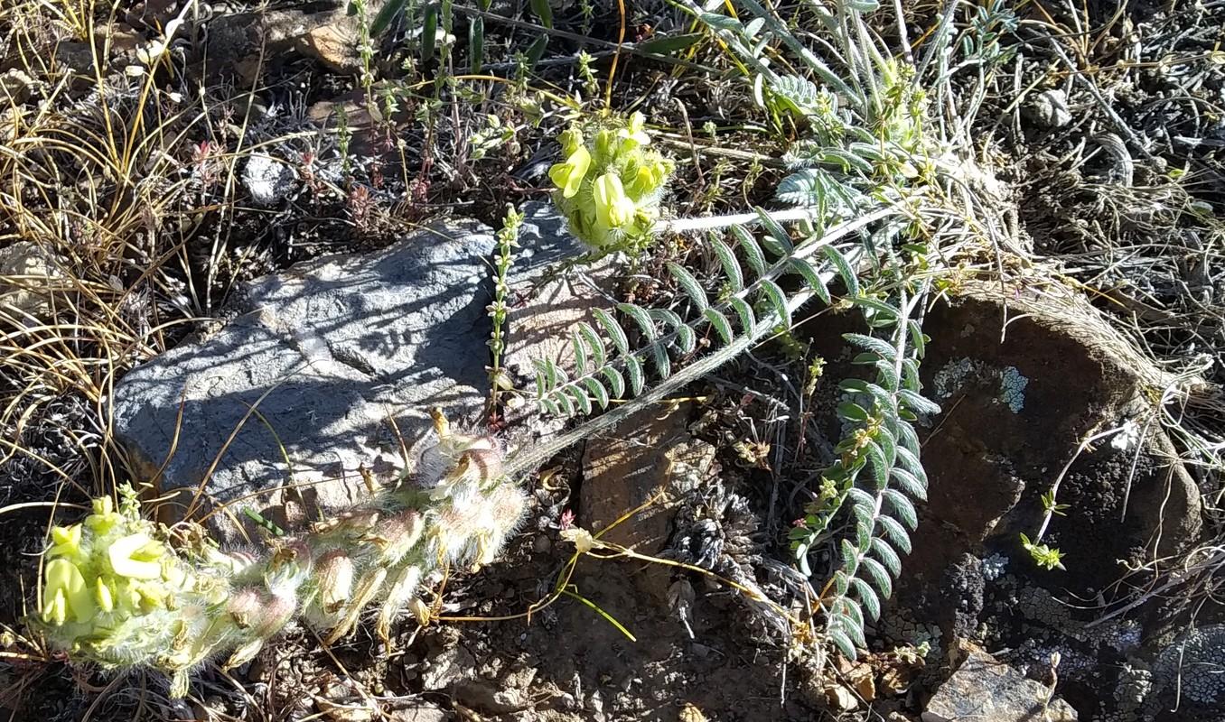 Изображение растения Astragalus mollis.