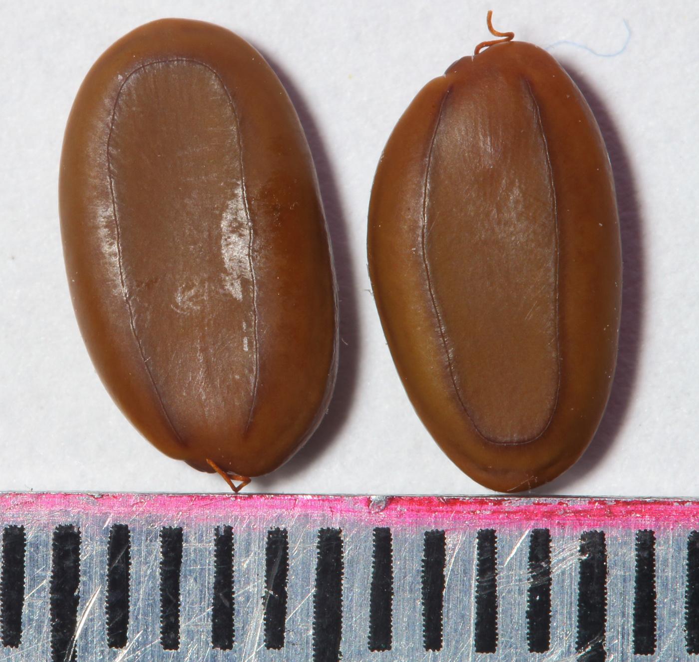 Альбиция шёлковая (Albizia julibrissin)
