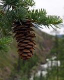Picea obovata