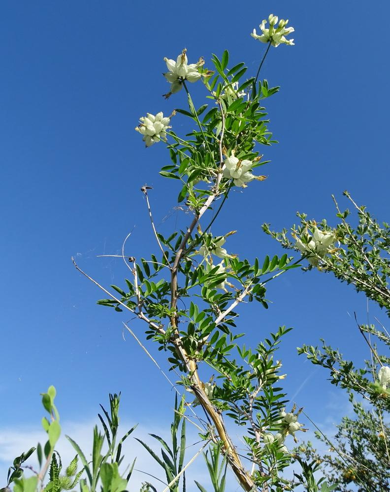 Изображение растения Astragalus veresczaginii.