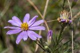 Galatella angustissima