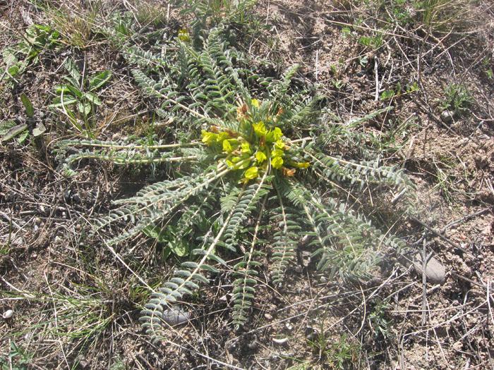 Изображение растения Astragalus substipitatus.