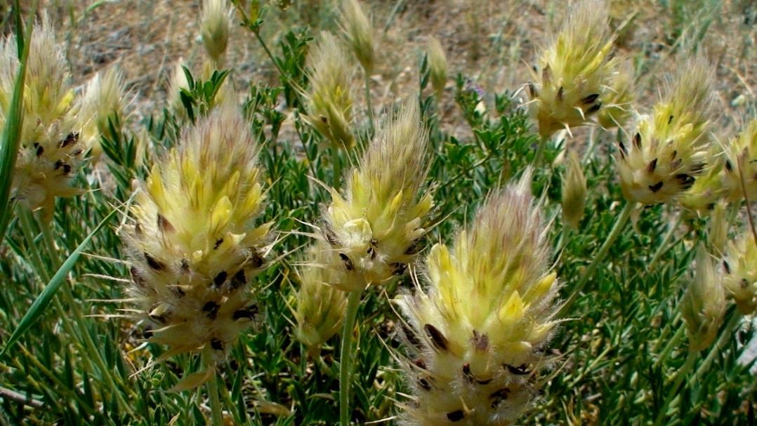 Изображение растения Astragalus lagurus.