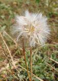 Scorzonera parviflora