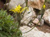 Leontodon caucasicus